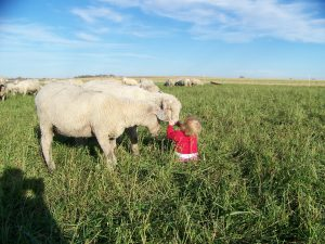 cute little girl with pasture raised sheep in minnesota